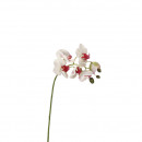 Phalaenopsiszweig
